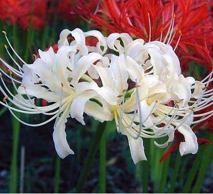 曼珠沙华花语 图片 什么花的花语是友谊 无忧花花语