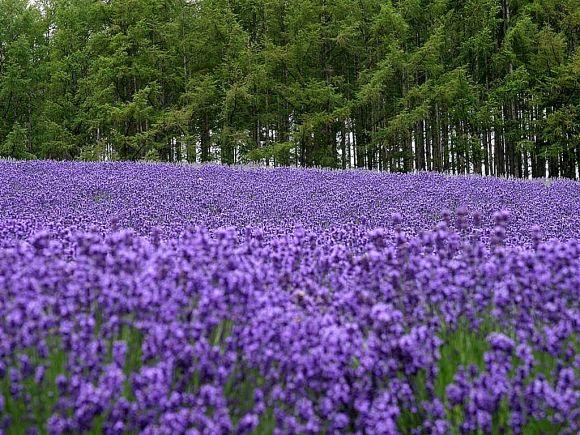 幸福天堂——普罗旺斯的薰衣草花海!