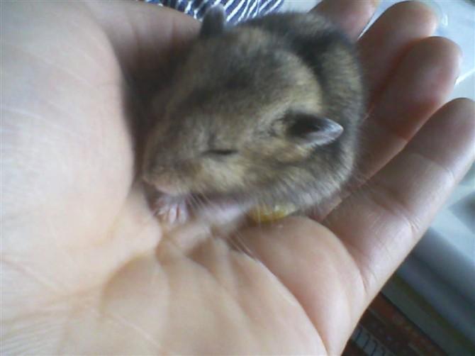小米自己养的超级可爱的小仓鼠(图)